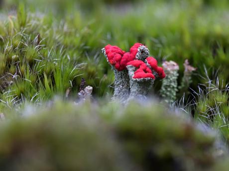 Rode bekermos
