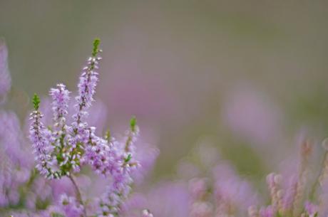 Heide in bloei.....