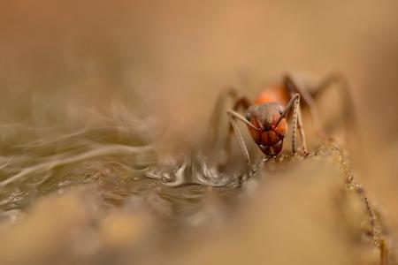 Smikkelen en smullen - Wat hebben we gisteren toch weer een heerlijke dag gehad tijdens de zoomdag. De weersverwachting was niet al te best, maar zelfs dat viel uiteindelij - foto door birgitte61 op 20-10-2019 - deze foto bevat: macro, natuur, bruin, druppel, licht, herfst, mier, insect, dof, bokeh, bosmier