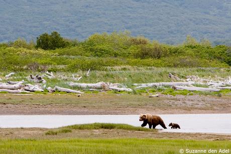 Bruine beer met jong, Alaska