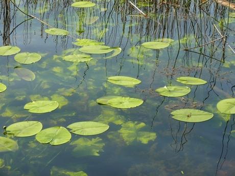Waterlelie1