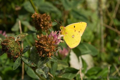 Luzerne vlinder