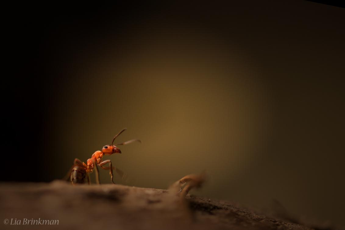 Hello - Hello,  Wie is er altijd aan het werk, Wie is nooit lui en ijzersterk Wie sjouwt er altijd even vlug met zware dingen op zijn rug Het is de mier  - foto door hulsman op 28-10-2016 - deze foto bevat: roze, groen, rood, macro, natuur, bruin, geel, licht, oranje, herfst, zwart, bos, mier, insect, dof, bosmier, Rode mier
