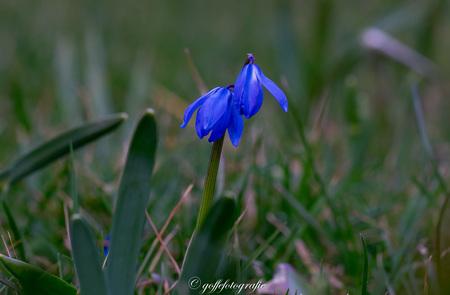 Sterhyacint - - - foto door Goffefotografie op 03-03-2021 - deze foto bevat: macro, bloem, lente, natuur, landschap, voorjaar