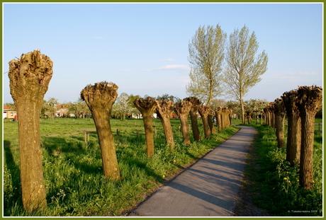 Knotswilgen in Culemborg