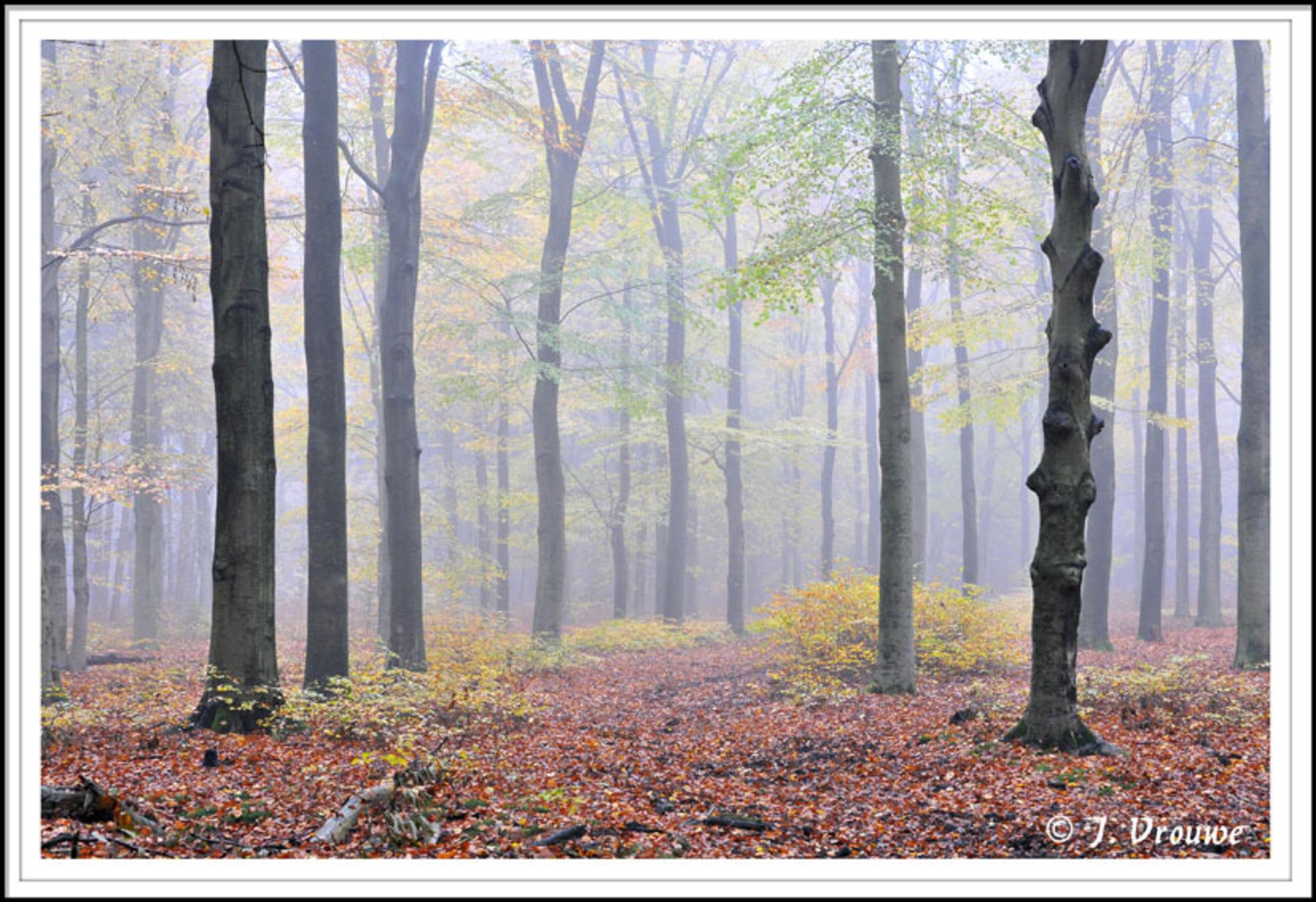 beukenbos Lage Vuursche - Hoewel ik er graag een zonnetje bij had gehad vind ik dit een stemmige foto - foto door janv2 op 07-12-2013 - deze foto bevat: herfst, mist, beukenbos, beuken, Lage vuursche, blderen - Deze foto mag gebruikt worden in een Zoom.nl publicatie
