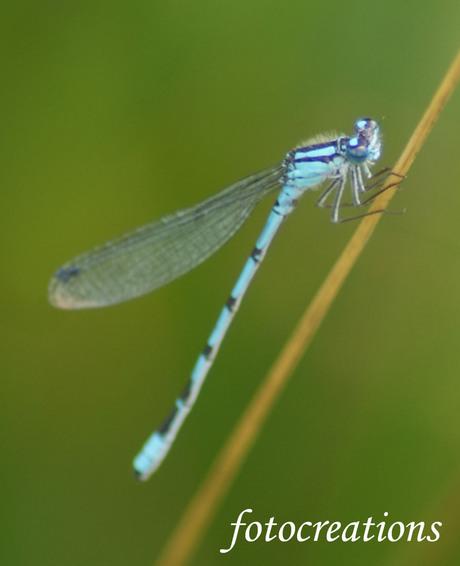 eem macro opname van een libelle