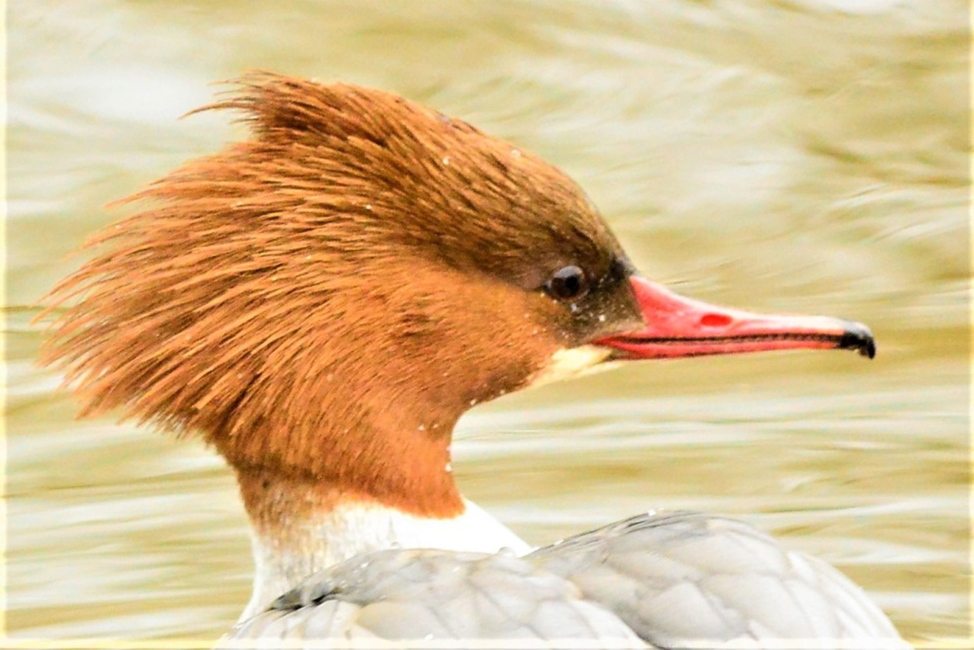 Punky - De vrouw van De Grote Zaagbek ziet er zo lekker '' Punky '' uit.  Bij ons een wintergast uit het noorden. - foto door cosinus op 16-02-2021 - deze foto bevat: water, vogel, watervogel