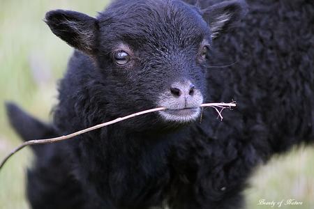 Lammetjes!!!! :D - Ja wat moet ik nog zeggen - foto door KarinSnoek op 12-04-2021 - locatie: Schagen, Nederland - deze foto bevat: schapen, lammetjes, lam, hoofd, oog, menselijk lichaam, terrestrische dieren, bakkebaarden, schapen, gras, vee, snuit, fabriek