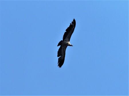 Mijn Reizen  - Zo'n gier in  de lucht  is altijd een  prachtig gezicht  het zijn hele vliegtuigen  en ze kunne prachtig op de thermiek  rond draaien .    Bedankt vo - foto door Stumpf op 13-04-2021 - locatie: India - deze foto bevat: vogel, lucht, accipitridae, bek, falconiformes, vleugel, accipitriformes, roofvogel, staart, veer