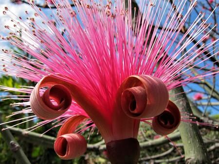 BLOEM - PRACHTIGE BLOEM GEFOTOGRAFEERD IN CUBA............. jammer van die boom erachter, maar door tijds gebrek kon ik hem niet laten verdwijnen. - foto door jh- op 05-05-2021 - deze foto bevat: fabriek, bloem, wiel, plantkunde, licht, natuur, terrestrische plant, roze, rood, automotive wielensysteem