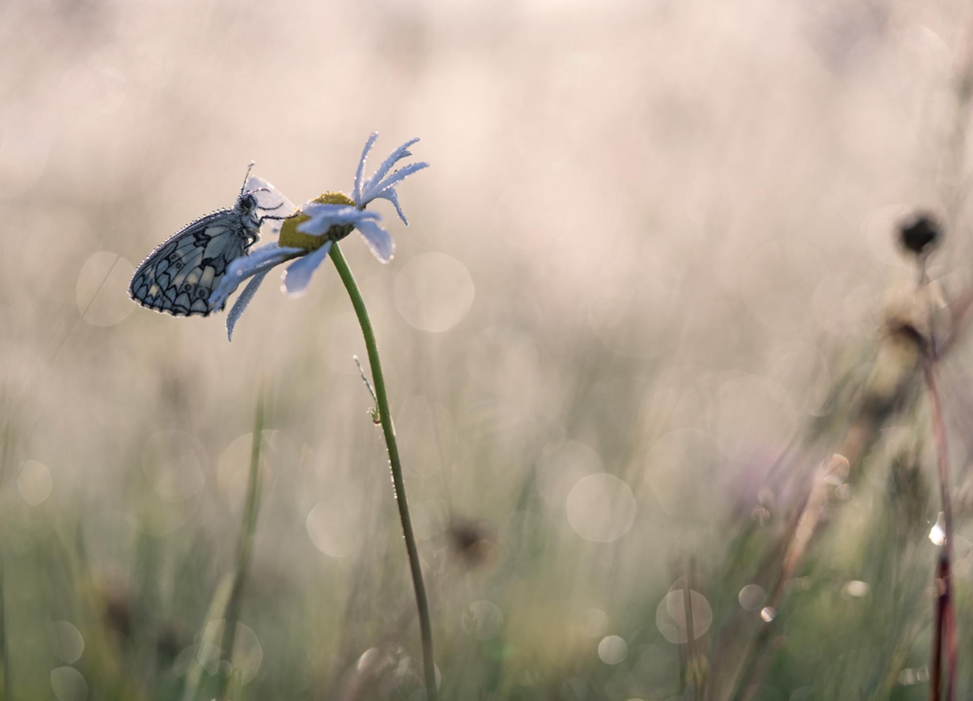 Game on - Ik verlang weer naar het spel van licht, kleur en geuren. Ach...komt vanzelf. Dank voor jullie reactie's op 'Timeless'. Groet Arjo. - foto door arjovandijk op 30-01-2020 - deze foto bevat: macro, natuur, vlinder, druppel, dauw, dof, dambordje, bokeh, arjovandijk