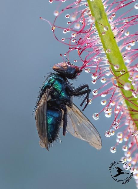 Groene vleesvlieg gevangen door zonnedauw