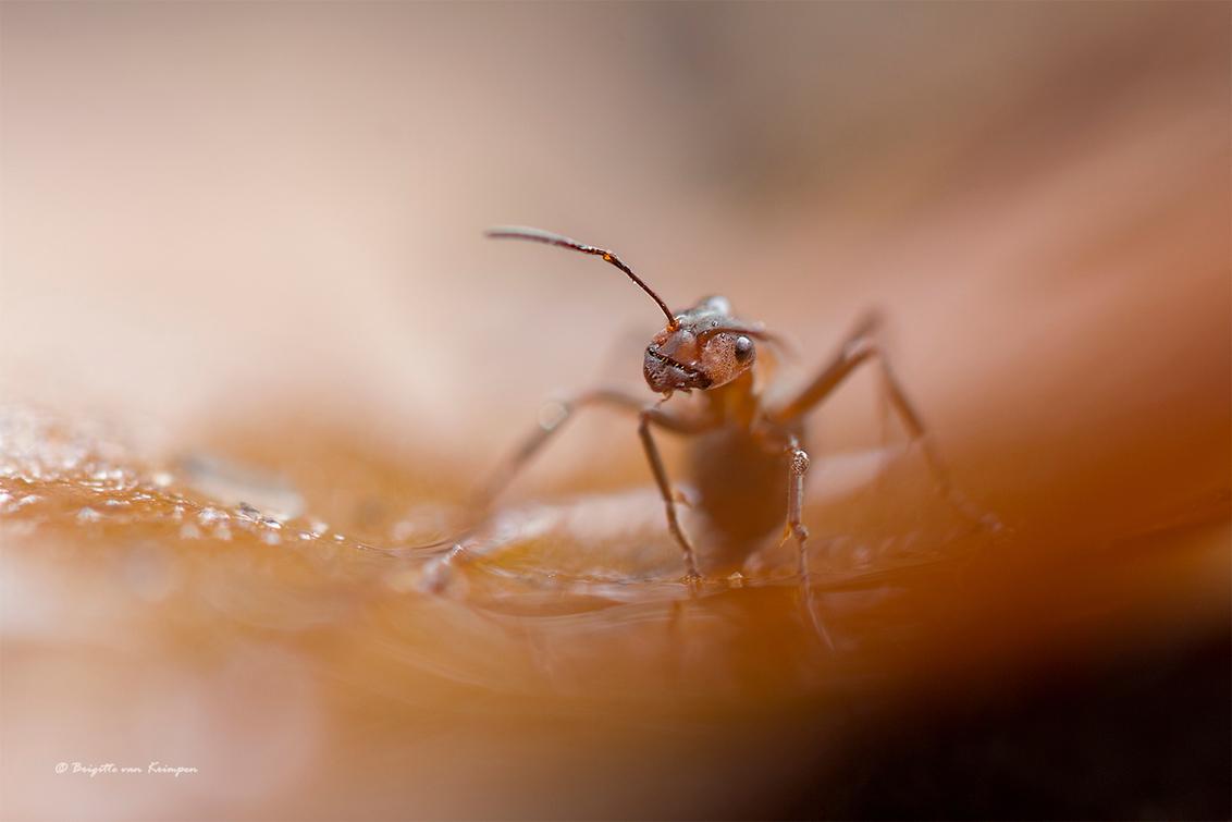 I'm looking at you - Het was weer genieten gister van fijn gezelschap een prima organisatie  door Daan en Dennis en duizenden paddo's. Maar die miertjes die blijven toch - foto door Puck101259 op 20-10-2019 - deze foto bevat: rood, macro, soft, natuur, bruin, druppel, licht, herfst, mier, zoomdag, insect, dorst, detail, sfeer, dof, moody, mood, bokeh, brigitte