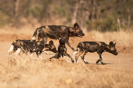 Uitglijder pup wilde honden. - Een roedel wilde honden die we een tijd lang konden volgen. Toen ze een zandpad overstaken, ging een pup onderuit. De rest stond direct stil en wacht - foto door Francis-Dost op 13-08-2018 - deze foto bevat: natuur, dieren, safari, hond, afrika, wildlife
