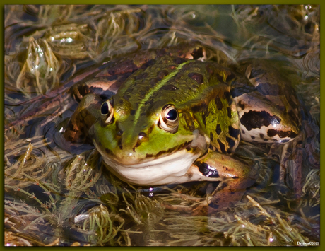 Froggy (AWD)