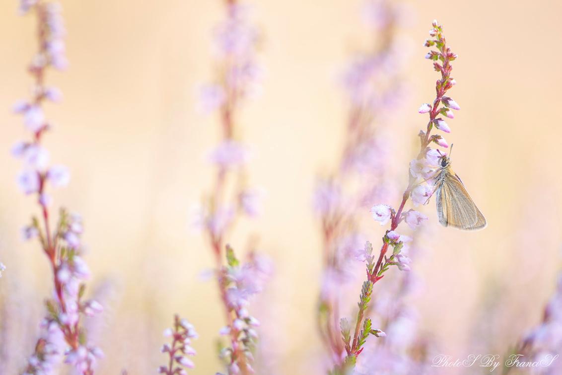 Sprookjes op de heide - Dit zijn toch prachtige ochtenden, mooi licht op de heide en dan tref je een dikkopje aan nog op zijn slaapplek. Ik kies dit jaar voor wat ruimere co - foto door Francis-Dost op 22-07-2018 - deze foto bevat: roze, macro, bloem, natuur, vlinder, licht, zomer, insect, dof, bokeh