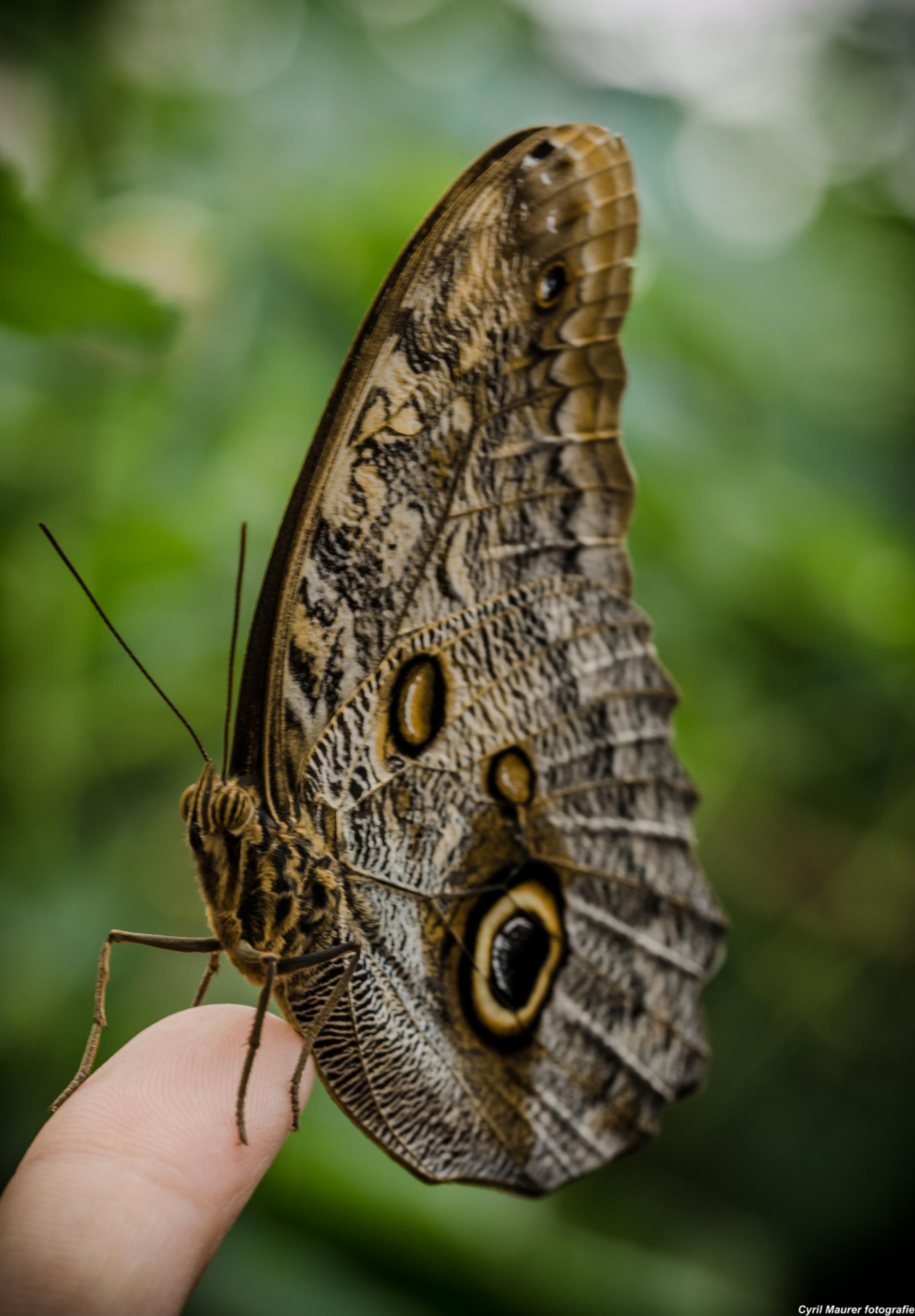 Butterfly resting on a finger - Dit is een uit een me laatste bezoeken aan de botanische tuinen Utrecht . Nu is de vlinder kas dicht inmiddels. Toch best lastig op je vinger en dan  - foto door sipmaurer op 23-09-2015 - deze foto bevat: groen, macro, wit, natuur, vlinder, bruin, geel, zwart, kas, dof, vinger, nazomer, vlinderkas, bokeh, botanische tuinen utrecht - Deze foto mag gebruikt worden in een Zoom.nl publicatie