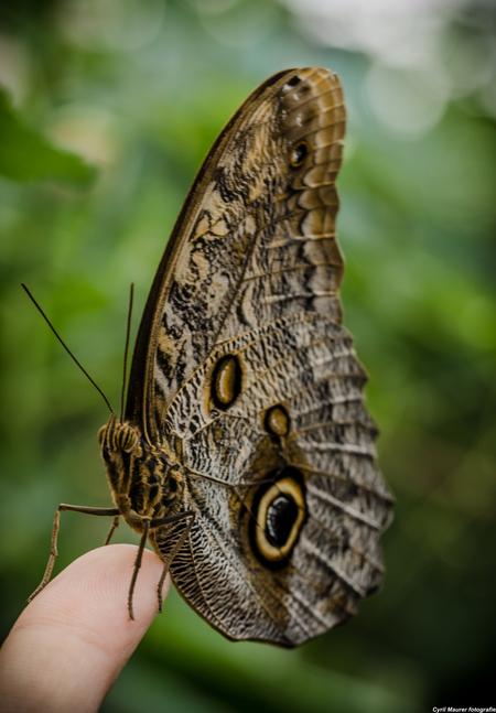 Butterfly resting on a finger - Dit is een uit een me laatste bezoeken aan de botanische tuinen Utrecht . Nu is de vlinder kas dicht inmiddels. Toch best lastig op je vinger en dan  - foto door sipmaurer op 23-09-2015 - deze foto bevat: groen, macro, wit, natuur, vlinder, bruin, geel, zwart, kas, dof, vinger, nazomer, vlinderkas, bokeh, botanische tuinen utrecht