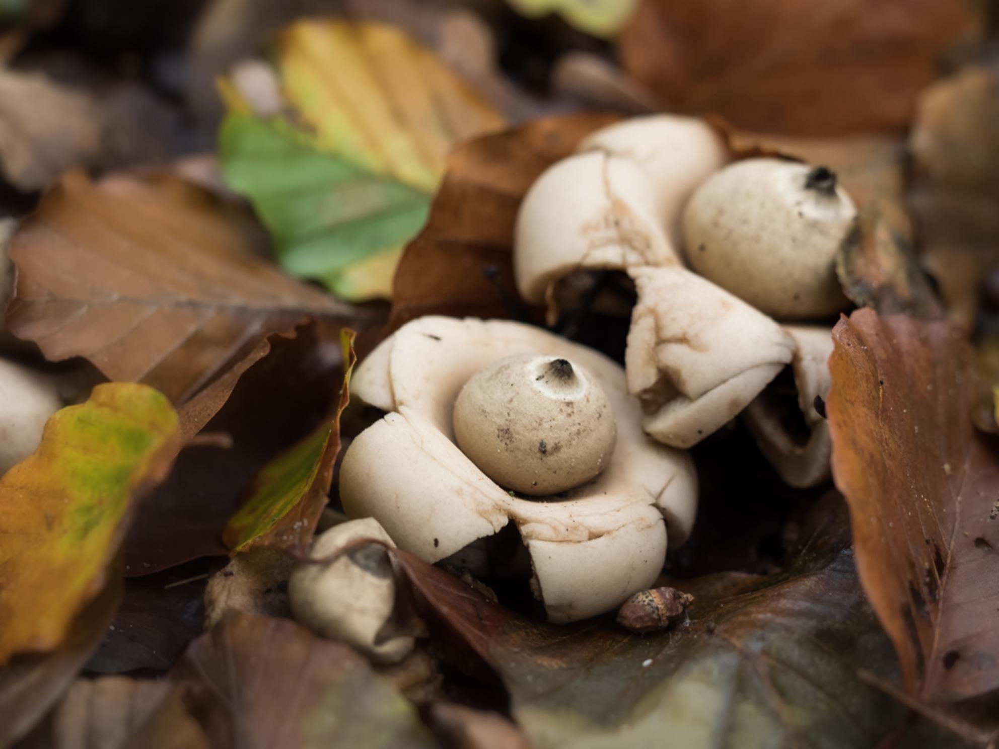 S p e c i a a l - Speciaal . . . .  of niet? Ik geloof dat dit Aardsterren zijn. - foto door Lilian2010 op 11-11-2020 - deze foto bevat: macro, natuur, herfst, bos, paddenstoelen