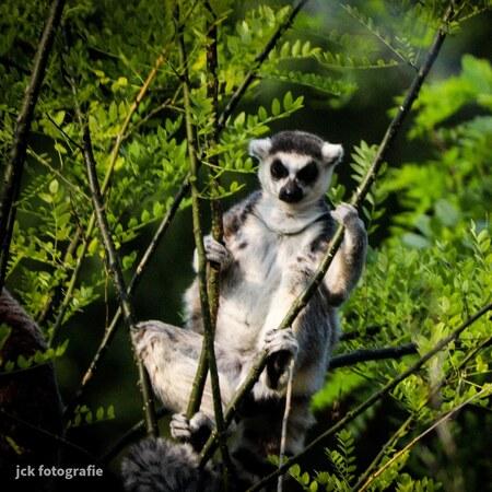 Enjoy the sun - - - foto door Kijf op 25-09-2020 - deze foto bevat: dierentuin, natuur, dieren, aap, burgerszoo
