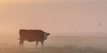 Blaarkop in de ochtendmist - - - foto door jrvanalphen op 19-07-2020 - deze foto bevat: koe, mist, nevel, tegenlicht, zonsopkomst, zoeterwoude, blaarkop, groene hart