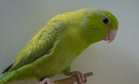 Forpus coelestis marbled green