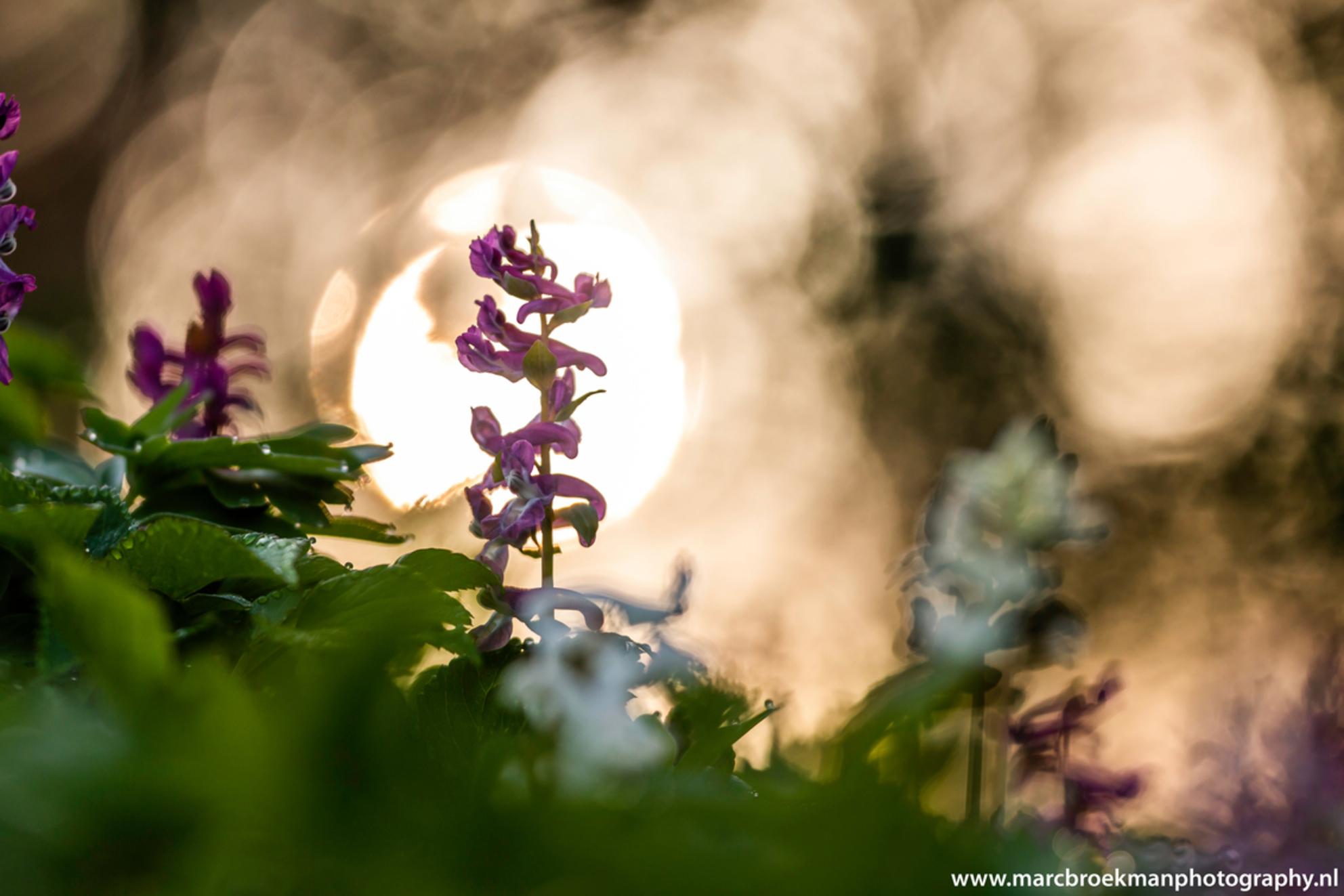 Holwortel Zonsopgang - Holwortel Zonsopgang bij Dickninge 8-4-2018 - foto door marcbroekmanphotography op 08-04-2018 - deze foto bevat: roze, groen, macro, zon, lente, natuur, druppel, licht, tegenlicht, dof, bokeh, dickninge