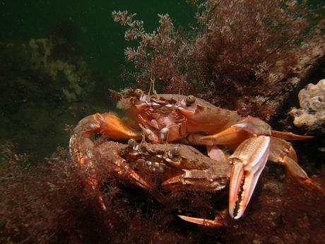 Liefde onder krabben