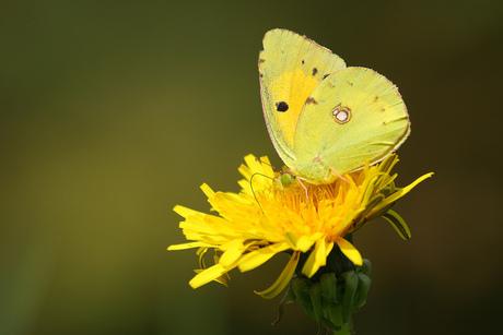 Gele Luzernevlinder