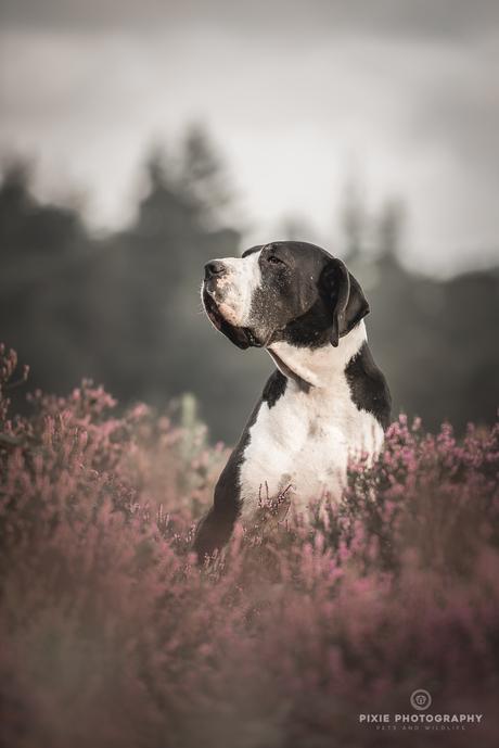 Duitse Dog met een wijs gezicht tussen de paarse heide