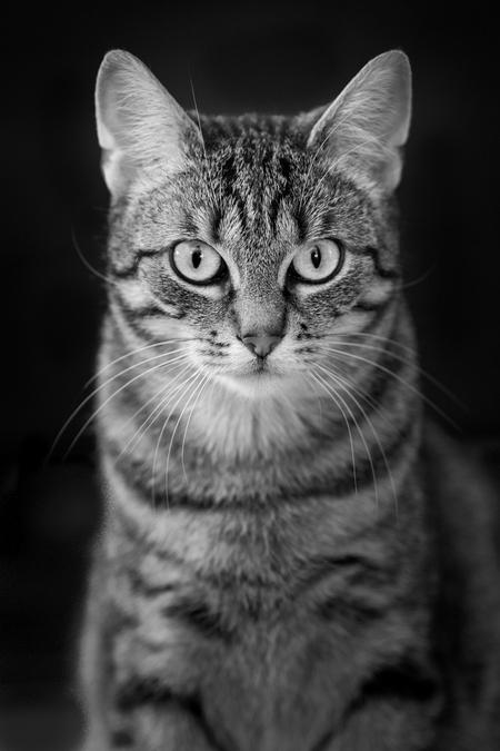 Poes Nala - Nala ging er eens goed voor zitten tijdens mijn bezoek bij mijn dochter.  - foto door Santakees op 08-04-2021 - deze foto bevat: poes, huisdier, nala, zwart wit, kat, felidae, carnivoor, kleine tot middelgrote katten, bakkebaarden, iris, grijs, snuit, monochrome fotografie, monochroom