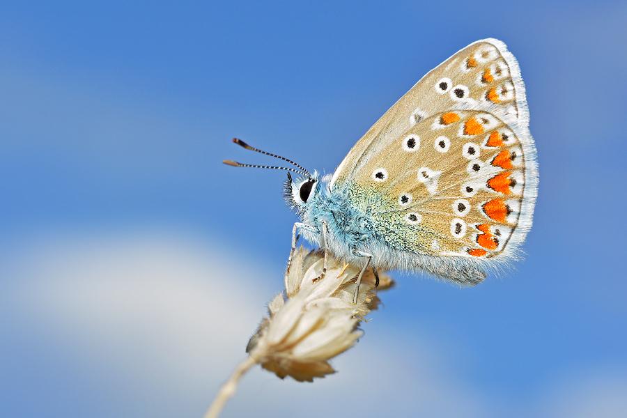 Blauw - Dit Blauwtje gisteren gefotografeerd, waar ik heel blij mee ben! - foto door Stephan Jansson op 23-07-2015 - deze foto bevat: blauw, vlinder, blauwtje
