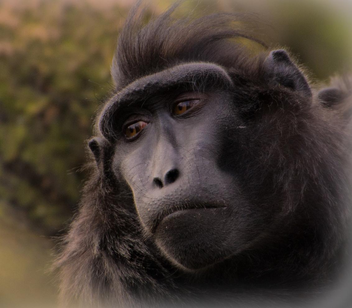 *****Wegdromen***** - Wegdromen...!  Bedankt voor de vele geweldige reacties op mijn:   *****In het oog*****    Fijn weekend!!!  Groet, Ruud - foto door kyano09 op 02-03-2013 - deze foto bevat: foto, rotterdam, dierentuin, dieren, apen, dier, aap, blijdorp, makaak, diergaarde, kuifmakaak, wegdromen, fotos, kuifmakaken, dierentuinen, makaken, macaca, diergaarde blijdorp, Macaca nigra