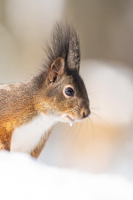 Eekhoorn close up