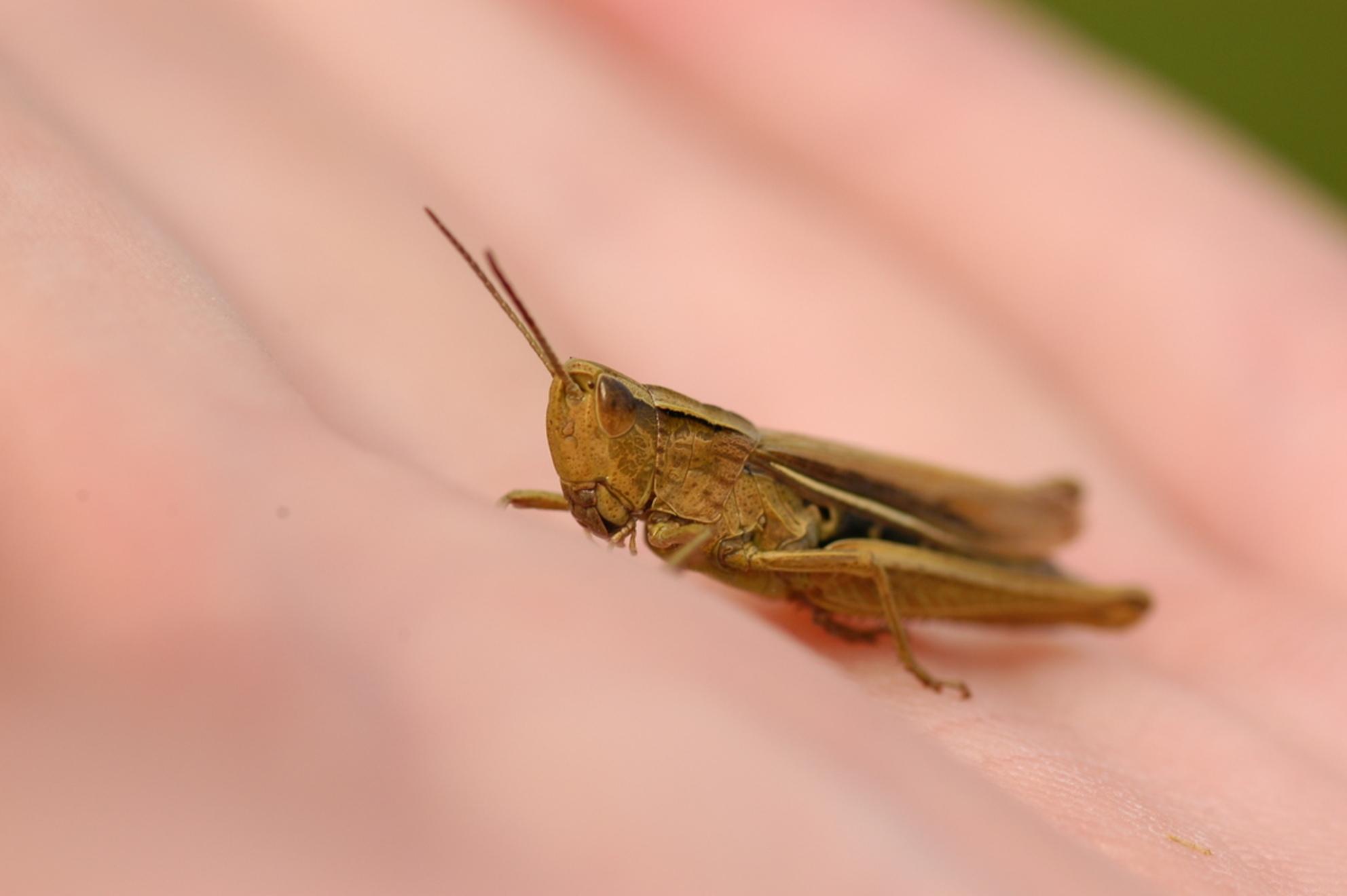 In de hand - Deze springer gefotografeerd toen hij in mijn eigen hand zat. Een krappere uitsnede was misschien beter, maar daaruit was het niet echt op te maken d - foto door Lailaat op 20-08-2008 - deze foto bevat: macro, hand, sprinkhaan, insect, biemie, nerds