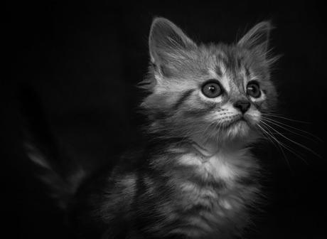 Maine coon kitten 2