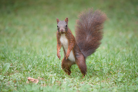 Kleine matcho eekhoorn