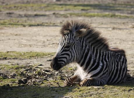 kleine zebra