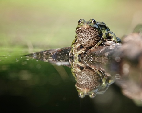 The frog blues