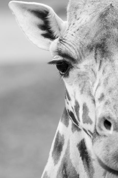 Een half portret van een giraffe