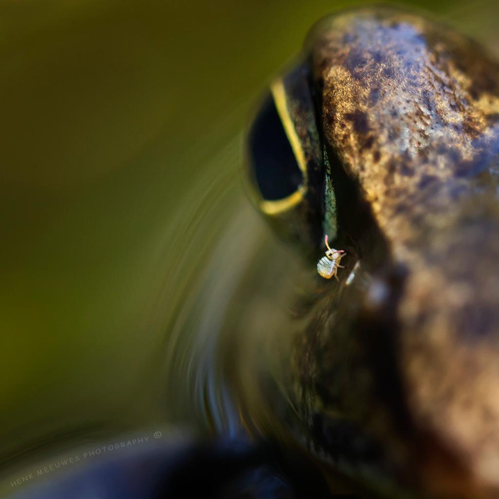 Eye-controle - Ook bij de kikker worden blijkbaar de ogen gemeten en gecontroleerd. De oogspecialist is blijkbaar het springstaartje. Toch vond de kikker het maar - foto door h.meeuwes op 14-04-2017 - deze foto bevat: macro, kikker, klein, vijver, oog, tussenringen, controle, springstaartje, henk meeuwes