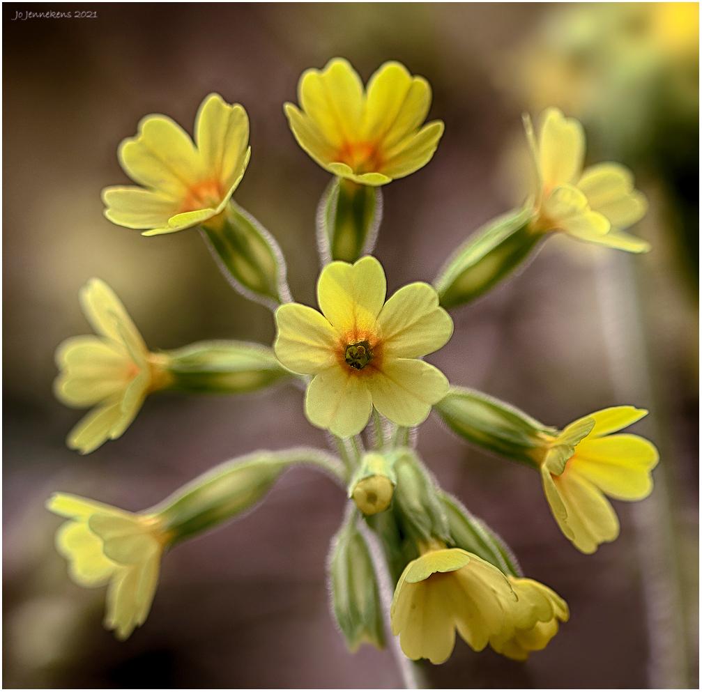 Slanke Sleutelbloem - Vooral te vinden op vochtige plekken, vaak in bossig gebied. Ze verdraagt de schaduw goed maar bij continue (te) donker staan, kwijnt ze toch weg. De - foto door Jo53 op 16-04-2021 - deze foto bevat: bloem, fabriek, bloemblaadje, terrestrische plant, kruidachtige plant, bloeiende plant, pedicel, wildflower, stuifmeel, macrofotografie