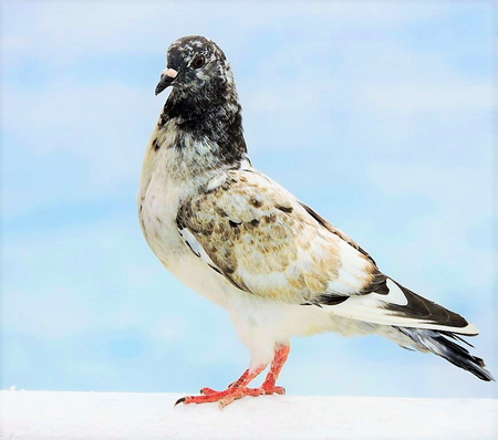Duif - Iedereen weer bedankt voor de leuke reaktie's en complimenten op mijn vorige opname's - foto door awduijts op 17-04-2021 - locatie: Platja de Llevant, Av. Madrid, s/n, 03503 Benidorm, Alicante, Spanje - deze foto bevat: vogel, bek, staart, wolk, voet, neerstekende vogel, vleugel, veer, balans, kraai-achtige vogel