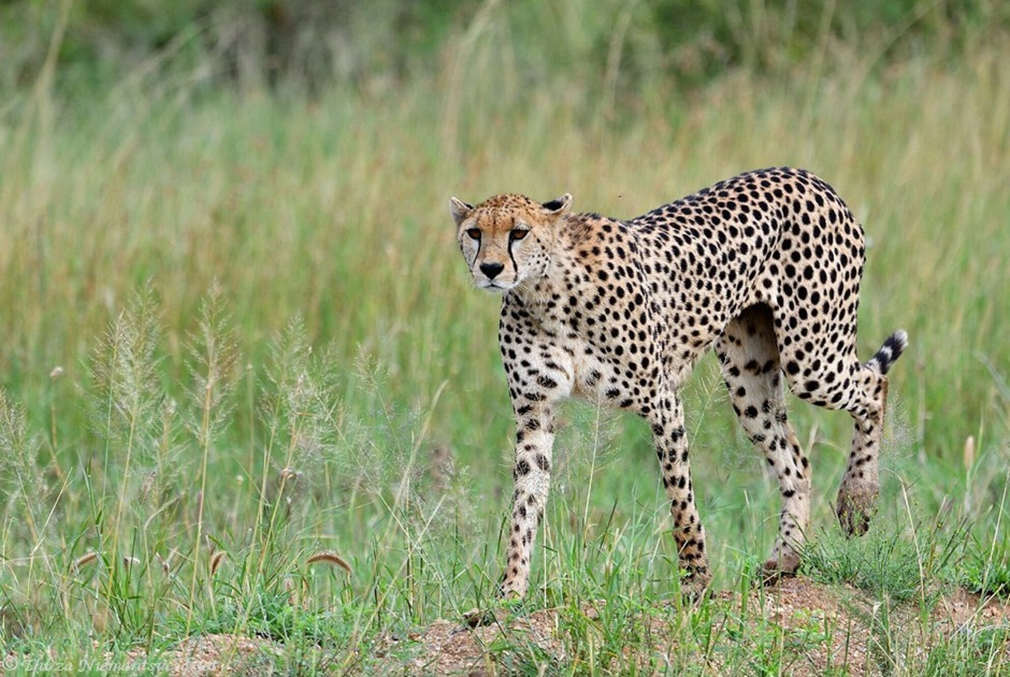 Serengeti Hunter - Duik weer even terug naar Tanzania, oef wat mooi al die dieren in het wild te spotten daar. Een cheetah in het weidse landschap van de Seregenti, op  - foto door thirzaniemantsverdriet op 25-02-2021 - deze foto bevat: natuur, dieren, afrika, wildlife, jachtluipaard, cheetah, serengeti, roofdier