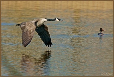 Canadian goose, in flight