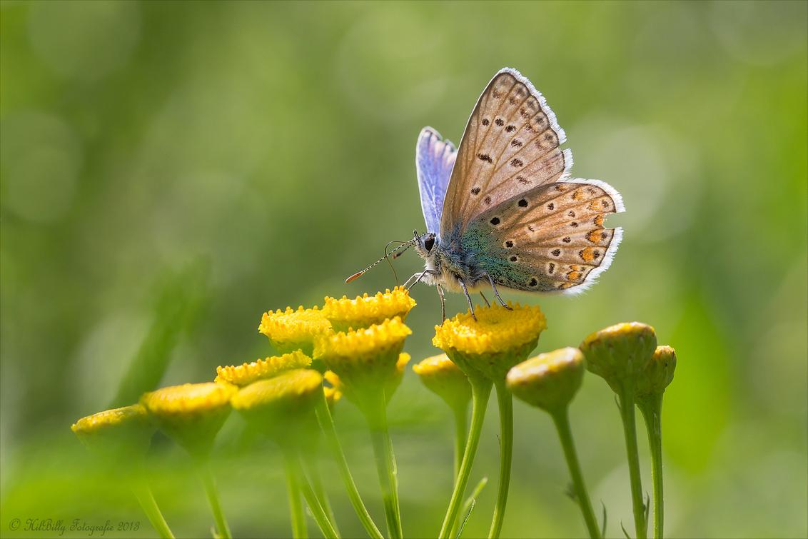 zomer Blauwtje . - Ik was van plan weer volop te reageren , maar het was me echt te warm , ik kan er niet tegen . Vandaag gelukkig een stuk koeler en ik begin weer met - foto door hilly1945billy op 06-08-2013 - deze foto bevat: vrouw, gras, macro, bloem, natuur, vlinder, tegenlicht, icarus-blauwtje, hilly1945billy