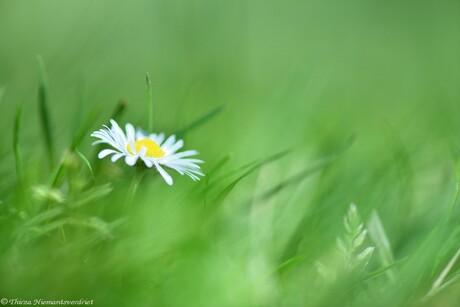 Daisy in Green