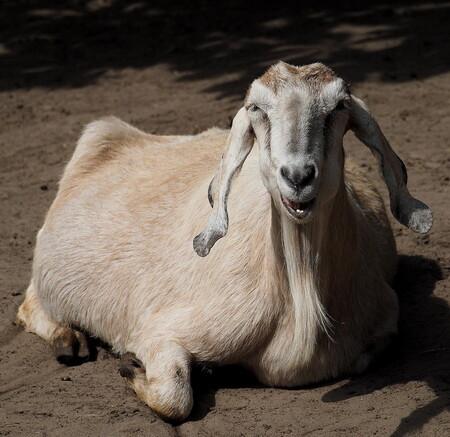 IK ZIJ.... - Even de OMD-E1 proberen met de 75-300...oke...zij die .... Het is voor Ali....nou de volgende foto ..krijg je dat  :d - foto door pietsnoeier op 28-06-2014 - deze foto bevat: sik, test, dierentuin, dieren, gijt