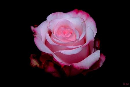 Sweetness - Deze prachtige roos Sweetness Advance met z'n prachtige kleuren tegen zwarte achtergrond alleen met flitser zonder verdere belichting geschoten . - foto door XIANG op 24-08-2010 - deze foto bevat: roos